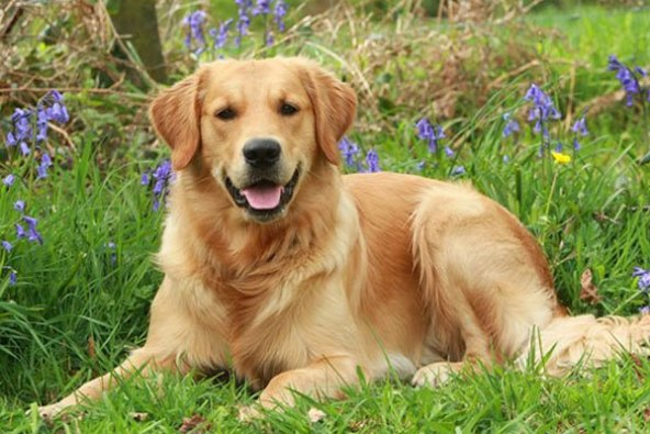 golden retriever top 20 smartest dog breeds