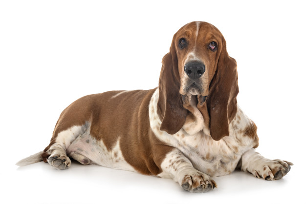 24 Dumbest Dog Breeds You Want To Avoid