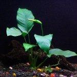 Anubias-barteri-Beginner-Tropical-Live-Aquarium-Plant-0