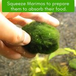 Luffy-Marimo-Fertilizer-Marimo-Food-boosts-Growth-Imparts-and-enhances-Color-Regular-Dosage-Results-in-fluffier-marimos-0-0