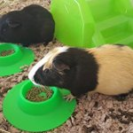 STAYbowl-Tip-Proof-Ergonomic-Pet-Bowl-for-Guinea-Pig-and-Other-Small-Pets-14-Cup-Small-Size-Spring-Green-0-1