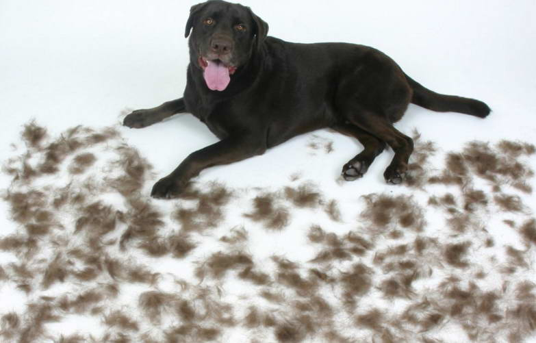 Best Way To Get Dog Hair Out Of Carpet Petswithlove Us
