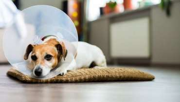 When To Spay A Dog