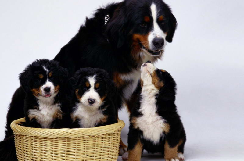 Find Bernese Mountain Dog Puppies Nc Petswithlove Us