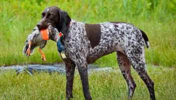 How To Find Dogs For Sale On Craigslist | petswithlove us
