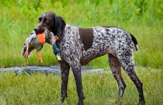 Bird Dogs For Sale