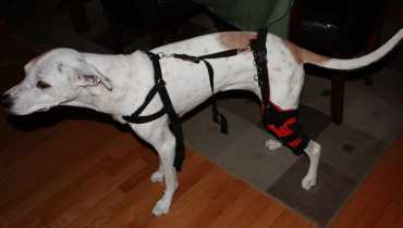 Dog Torn Acl