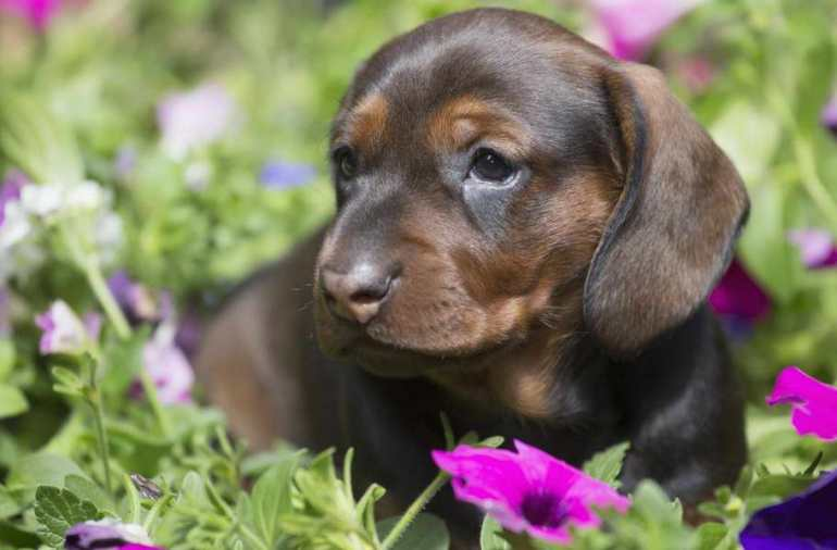 Beagle Dachshund Mix Rescue