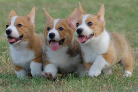 Corgi Dogs For Sale Near Me