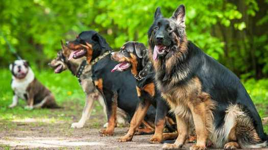 how much is a trained german shepherd