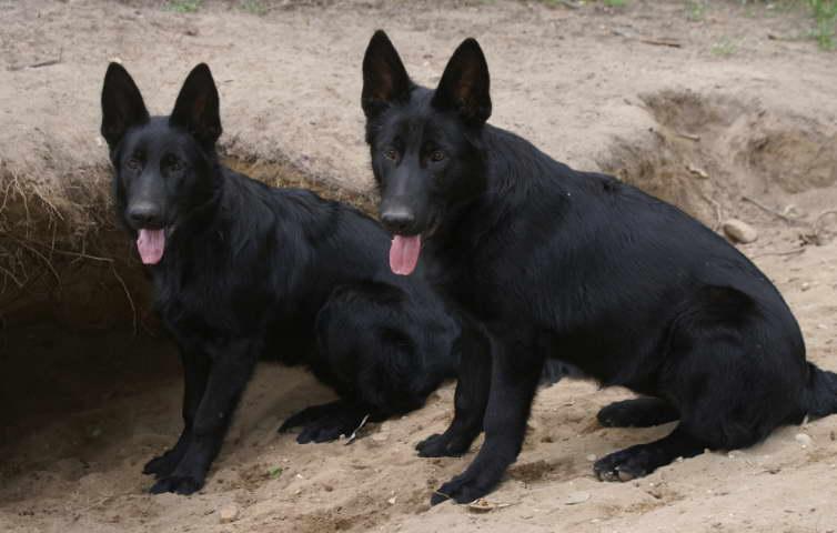 Buy Black German Shepherd Puppy For Sale In Denmark