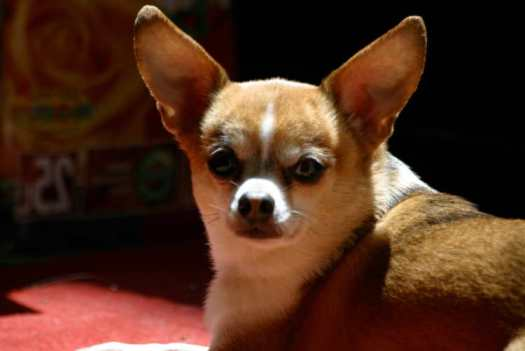 Best Dog Food for Overweight Chihuahua