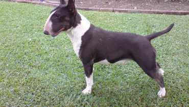 bull terrier for sale ny