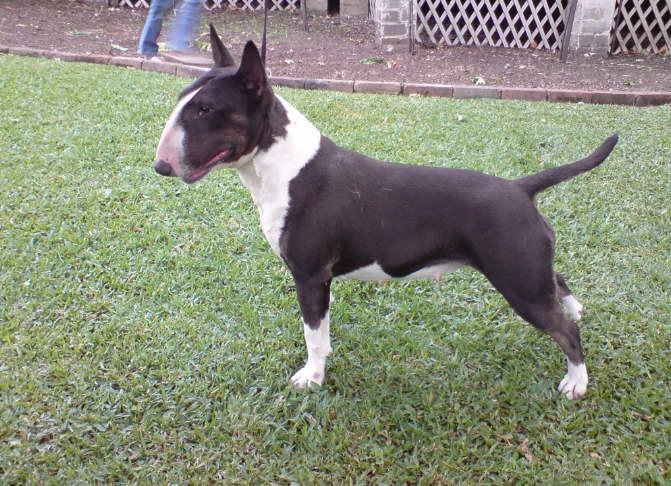 Bull Terrier for Sale in NY