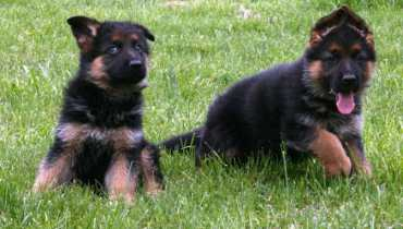 german shepherd puppies for sale virginia