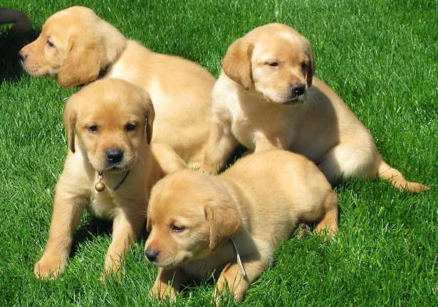 golden labrador puppies michigan
