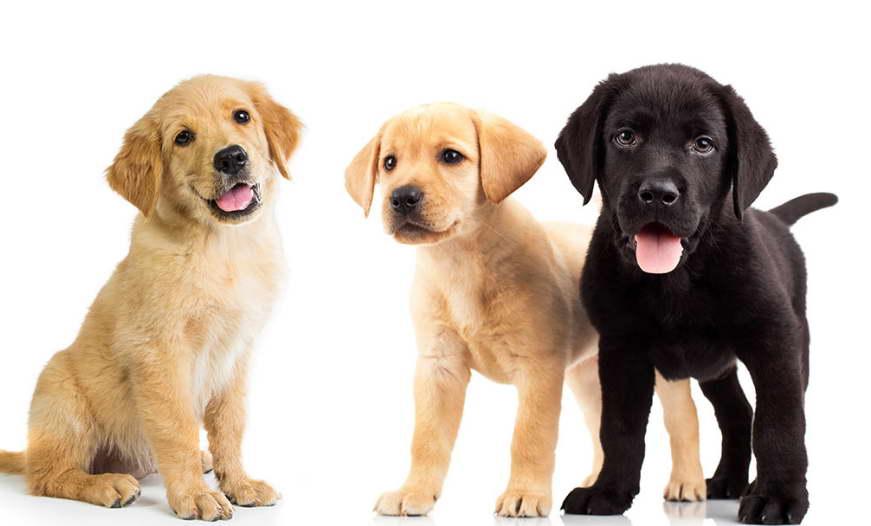 Golden Labrador Retrever For Sale