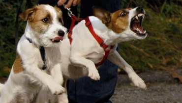 Jack Russell Terrier Behavior