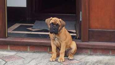 mastiff mix puppies for sale