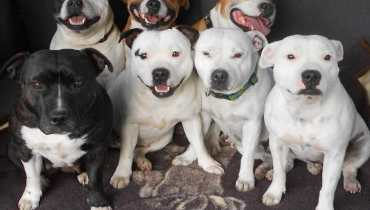 mini bull terrier puppies for sale in florida