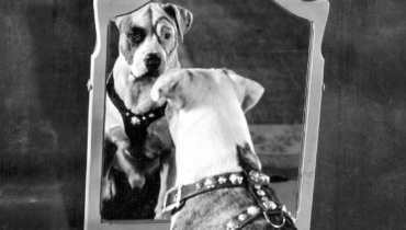 pit bull terriers history