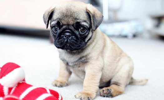 pug cross puppies for sale