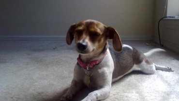 rat terrier beagle mix