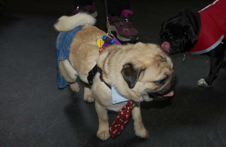 Find Seattle Pug Rescue Near Me
