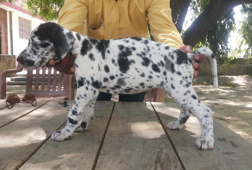 training great dane puppies