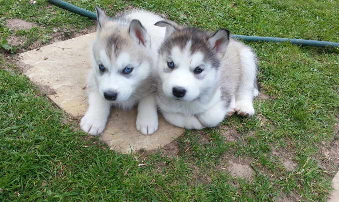 Alaskan Malamute Siberian Husky Puppies | petswithlove.us