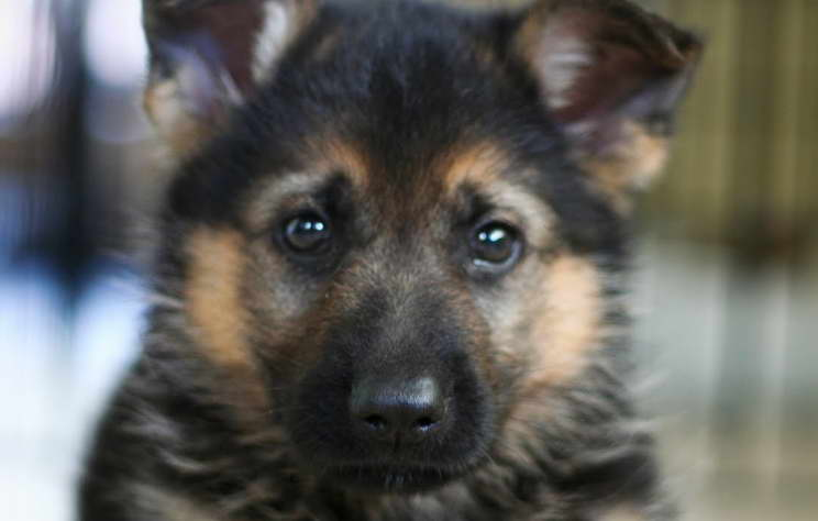 All About German Shepherd Puppy