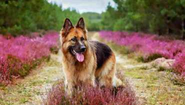 All German Shepherd Dog