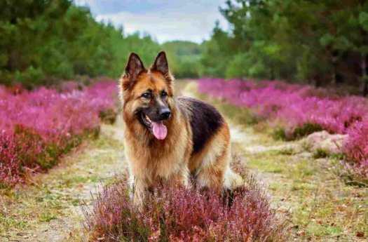 All German Shepherd Dog