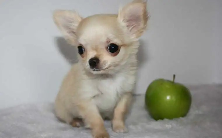 Apple Head Chihuahua for Sale