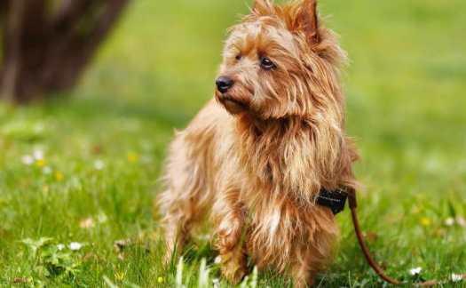 australian terrier price