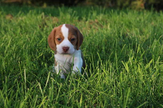 beagle puppies for sale nyc