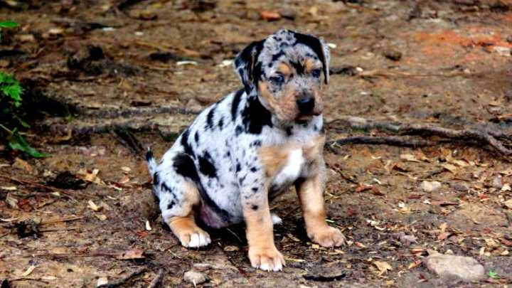 Catahoula Leopard Dog Breeders Near Me