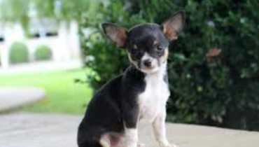 chihuahua breeders in maryland