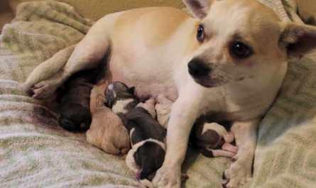chihuahua puppies denver colorado
