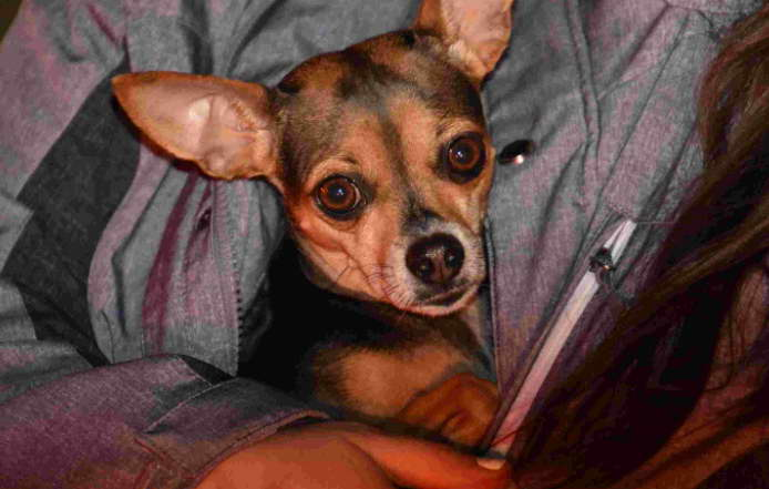 Chihuahua Puppies Free Adopt in Indianapolis