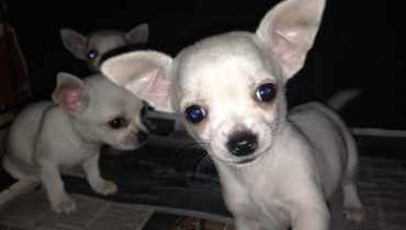 Chihuahua Puppies Prices