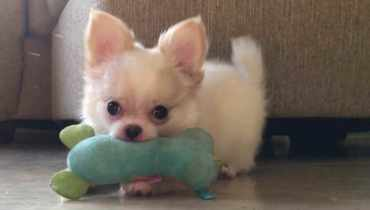 Chihuahua Rescue Kansas City