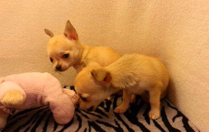 Colorado Chihuahua Rescue