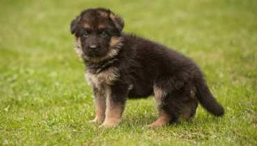 cost of german shepherd puppies