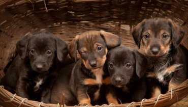 dachshund puppies for sale in phoenix az