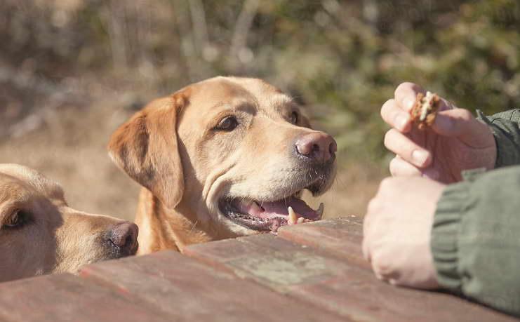 Food for Labrador Retriever