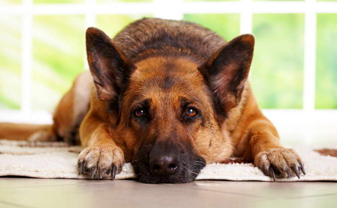 german shepherd illnesses
