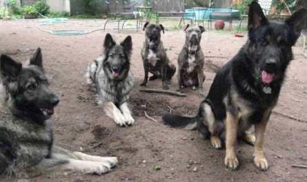 German Shepherd Training NJ