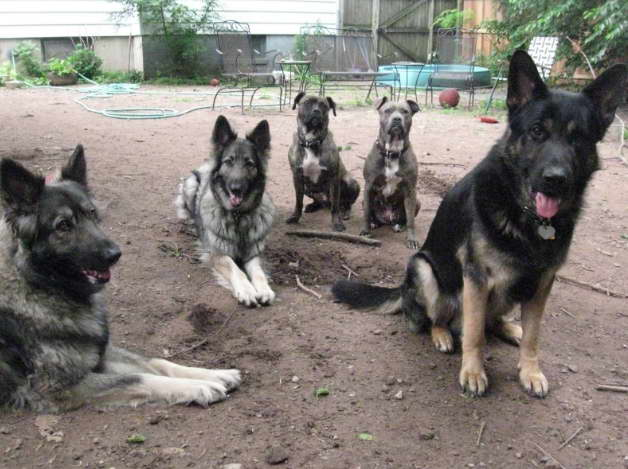 German Shepherd Training in NJ