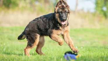 How to Train a Female German Shepherd Puppy